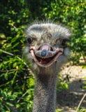 Portrait d'un plan rapproché drôle d'autruche dehors avec la bouche ouverte Images libres de droits