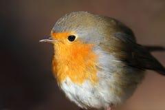 Portrait d'un plan rapproché mignon de Robin d'oiseau photographie stock