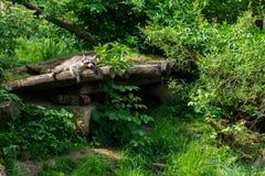 Portrait d'un raton laveur qui se repose sur un tronc d'arbre image libre de droits