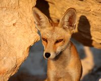 Portrait d'un renard rouge un après-midi ensoleillé images stock
