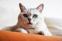 Portrait d'un repos important sur le chat blanc aux yeux verts de sofa Photo stock