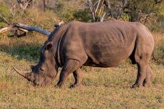 Portrait d'un rhinocéros blanc en soleil en retard de jour Image libre de droits