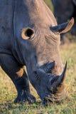 Portrait d'un rhinocéros blanc en soleil en retard de jour Image stock