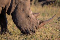Portrait d'un rhinocéros blanc en soleil en retard de jour Photographie stock