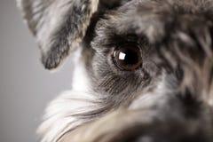 Portrait d'un schnauzer miniature adorable photo stock