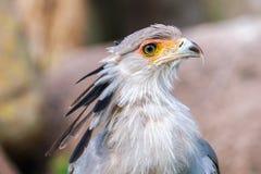 Portrait d'un secrétaire Bird image libre de droits