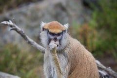 Portrait d'un singe de Patas photo libre de droits