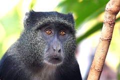 Portrait d'un singe diademed par bleu photo stock