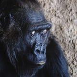 Portrait d'un singe effrayé Fauchage de ses yeux images libres de droits