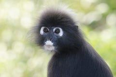 Portrait d'un singe sombre de feuille dans un arbre image libre de droits