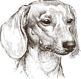 Portrait d'un teckel Images libres de droits