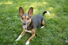 Portrait d'un terrier image stock