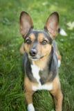 Portrait d'un terrier photo stock