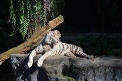 Portrait d'un tigre blanc Photo stock