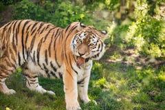 Portrait d'un tigre sibérien photographie stock libre de droits