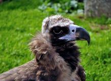 Portrait d'un vautour moine Image stock