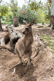 Portrait d'un wallaby Images stock