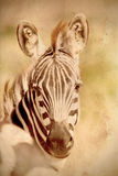 Portrait d'un zèbre commun dans le ton de sépia de vintage Photographie stock