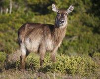 Portrait d'une antilope de Waterbuck Photographie stock