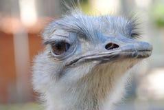 Portrait d'une autruche photos stock