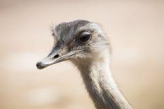 Portrait d'une autruche de commno Image libre de droits