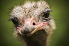 Portrait d'une autruche regardant à l'appareil-photo Images libres de droits