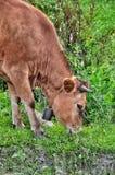 Portrait d'une belle vache avec une cloche autour de son plan rapproché de cou Images stock