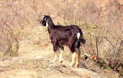 Portrait d'une chèvre photo stock