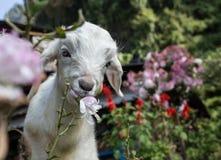 Portrait d'une chèvre Photos stock