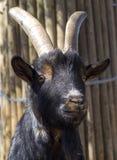 Portrait d'une chèvre Image libre de droits
