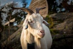 Portrait d'une chèvre blanche de ferme