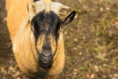 Portrait d'une chèvre brune avec de grands klaxons Photo libre de droits