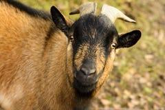Portrait d'une chèvre brune avec de grands klaxons Photographie stock libre de droits