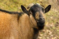 Portrait d'une chèvre brune avec de grands klaxons Images libres de droits