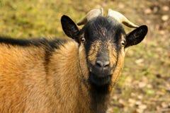Portrait d'une chèvre brune avec de grands klaxons Photos libres de droits