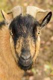 Portrait d'une chèvre brune avec de grands klaxons Image libre de droits