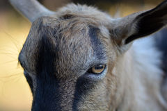 Portrait d'une chèvre drôle regardant à l'appareil-photo Photos stock