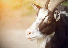 Portrait d'une chèvre repérée avec les yeux oranges et les longs klaxons image libre de droits