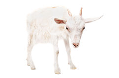 Portrait d'une chèvre sérieuse Image stock
