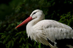 Portrait d'une cigogne, se reposant sur son nid image libre de droits