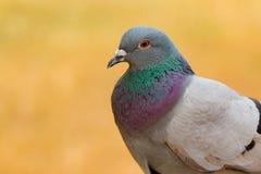 Portrait d'une colombe sauvage avec de belles plumes Images libres de droits