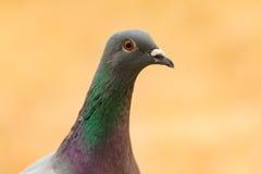Portrait d'une colombe sauvage avec de belles plumes Photos stock