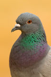 Portrait d'une colombe sauvage avec de belles plumes Image stock