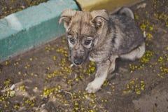 Portrait d'une couleur grise 8907 de petit chiot perdu Image libre de droits