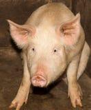 Portrait d'une ferme de porc Photo stock