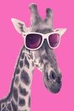 Portrait d'une girafe avec des lunettes de soleil de hippie Photographie stock