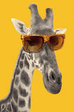 Portrait d'une girafe avec des lunettes de soleil de hippie Image libre de droits