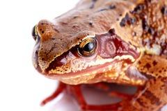 Portrait d'une grenouille. Images stock