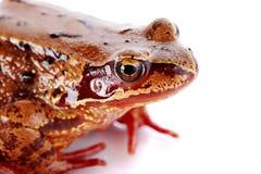 Portrait d'une grenouille brune. Photo stock