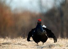 Portrait d'une grouse noire lekking magnifique (tetrix de Tetrao) Photographie stock libre de droits